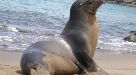 El lobo marino (Otaria Flavescens)
