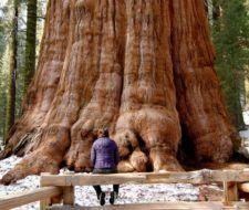 Sequoias o secuoyas: Los árboles más magnificos del mundo