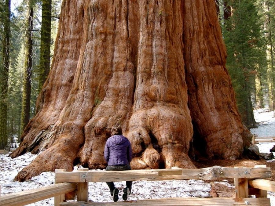 Sequoias O Secuoyas Los Rboles M S Magnificos Del Mundo