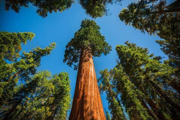 tipos-de-sequoias-o-secuoyas