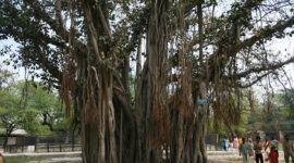 Los árboles más magníficos del mundo: Banianos