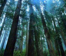 El Sugi, cedro japonés, símbolo de la relación cultural y religiosa con la naturaleza