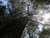 El árbol más alto del mundo
