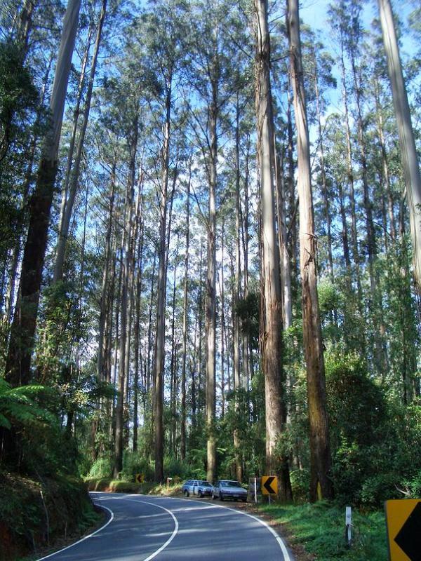 el-arbol-mas-alto-del-mundo-eucalyptus-regnans