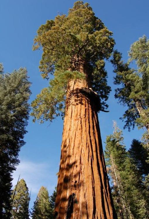 el-arbol-mas-alto-del-mundo-sequoia