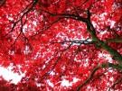 ¿A qué se debe el color rojo de las hojas de árbol en otoño?