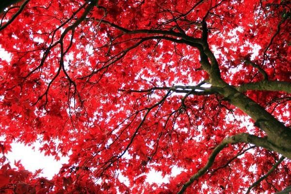 A qu se debe el color rojo de las hojas de rbol en for Gama de colores vivos