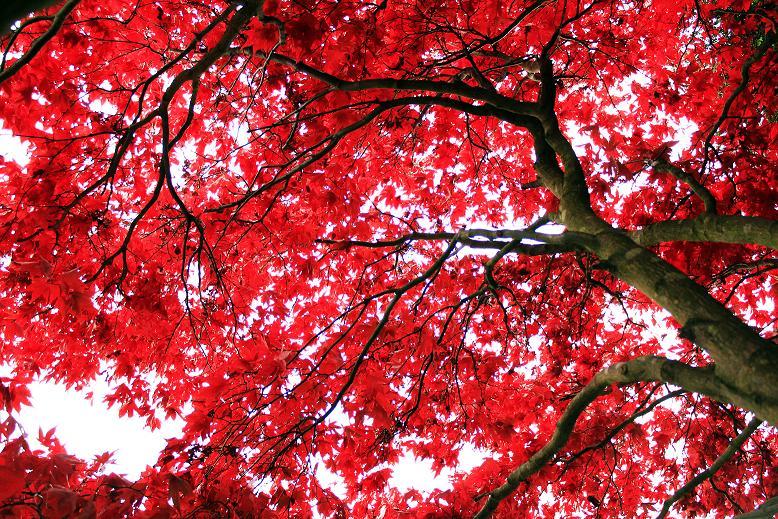 A qu se debe el color rojo de las hojas de rbol en for Arboles de hoja perenne para jardin