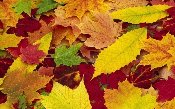 A qu se debe el color rojo de las hojas de rbol en - Color verde hoja ...