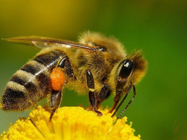 abejas-la-especie-ms-importante-del-mundo