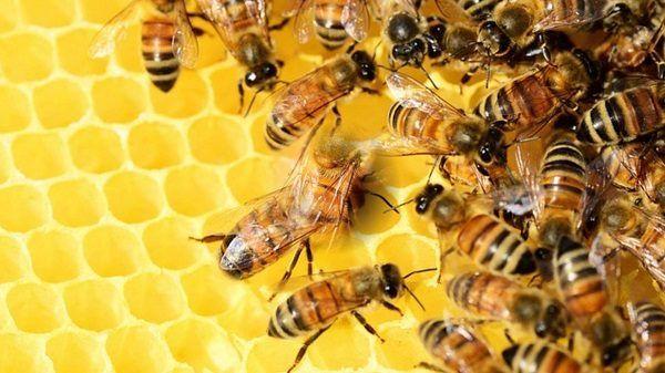abejas-la-especie-ms-importante-del-mundo-colmena