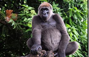 Nuevo parque nacional para proteger al gorila más amenazado