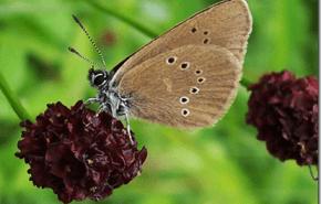 Las mariposas europeas se enfrentan a la extinción