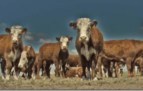 Las vacas contaminan, pero podrían dejar de hacerlo con aceite de pescado