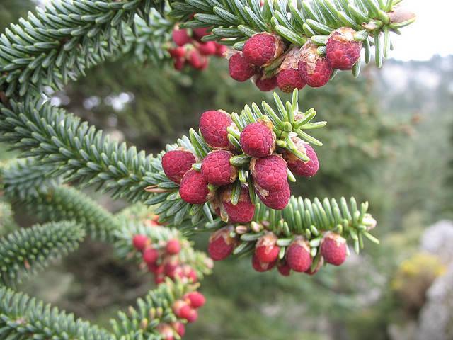 los más variados tipos de órganos reproductores variedad de árboles