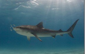 Groenlandia cree que la carne de tiburón podría ser nueva fuente de biocombustible