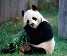 El Oso Panda o Ailuropoda melanoleuca: Toda la información y Características