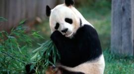 El Oso Panda o Ailuropoda melanoleuca: Características, habitat, comportamiento y curiosidades