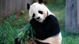 El Oso Panda o Ailuropoda melanoleuca: características y curiosidades
