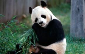 Osos panda en peligro de extinción