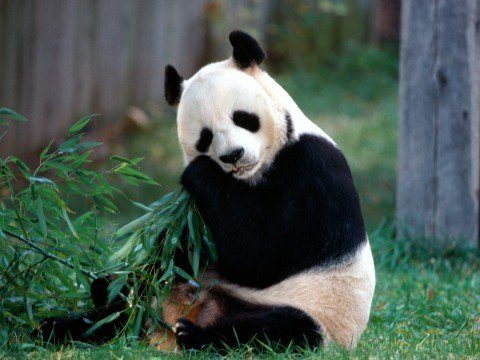 snack-time-panda-bear-pictures