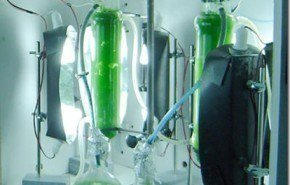 Nuevo biofertilizante a partir de microalgas
