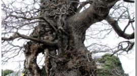 Los árboles más viejos del Reino Unido en peligro de extinción