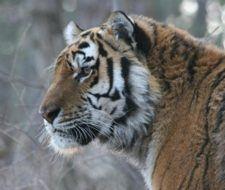 La población de tigre siberiano desciende