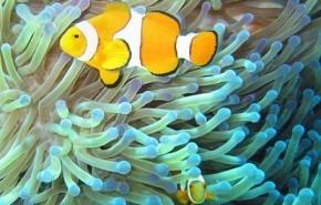 La contaminación en los océanos pone en peligro al pez payaso