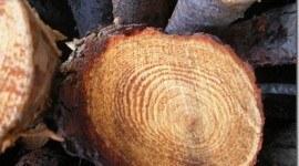 Analizar anillos de los árboles revelaría aludes en el Pirineo catalán