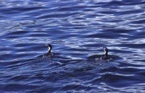 Extinción de cormoranes en Galicia. Efectos del Prestige.