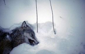 Suecia aprueba la caza de lobos para controlar su población