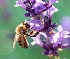 El número de abejas disminuye por la pérdida de biodiversidad
