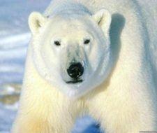 Los osos polares cambian de hábitats