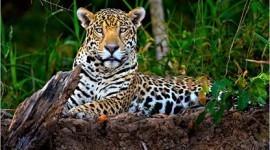 El jaguar será protegido