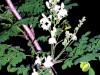 Moringa Oleifera: propiedades