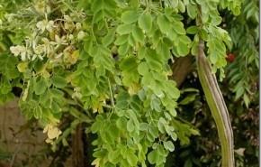 Aceite Moringa Oleifera