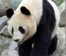 Osos panda en extinción