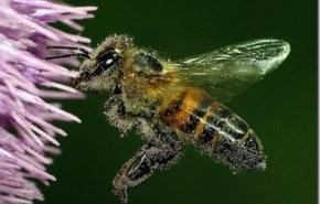 Las abejas se extinguen. ¿Por qué?