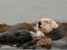 Nutrias de mar sirven para luchar contra calentamiento global