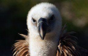 Buitre, un ave muy curiosa