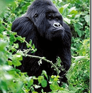 Prohiben la explotacion de petroleo en Congo para proteger gorilas