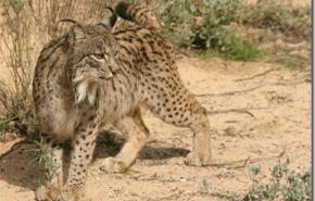 Lince Iberico: el felino en mayor peligro de extincion