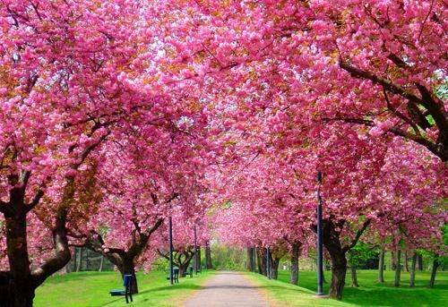 la-primavera-rosa