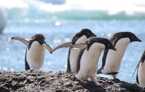 Pinguinos: preocupante disminucion de su poblacion en la Antartida