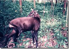 Saolas: crean reserva natural en Vietnam para salvar estos misteriosos bovinos