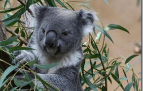 Koalas | Crece la poblacion gracias a la plantacion de arboles