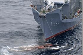 Ballenas | Japon reiniciara la caza ilegal