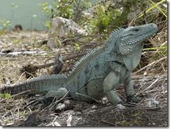 Salvar de la extincion: el caso de las iguanas azules de Gran Caimán
