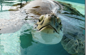 Recuperan y liberan una tortuga mutilada por las helices de un bote